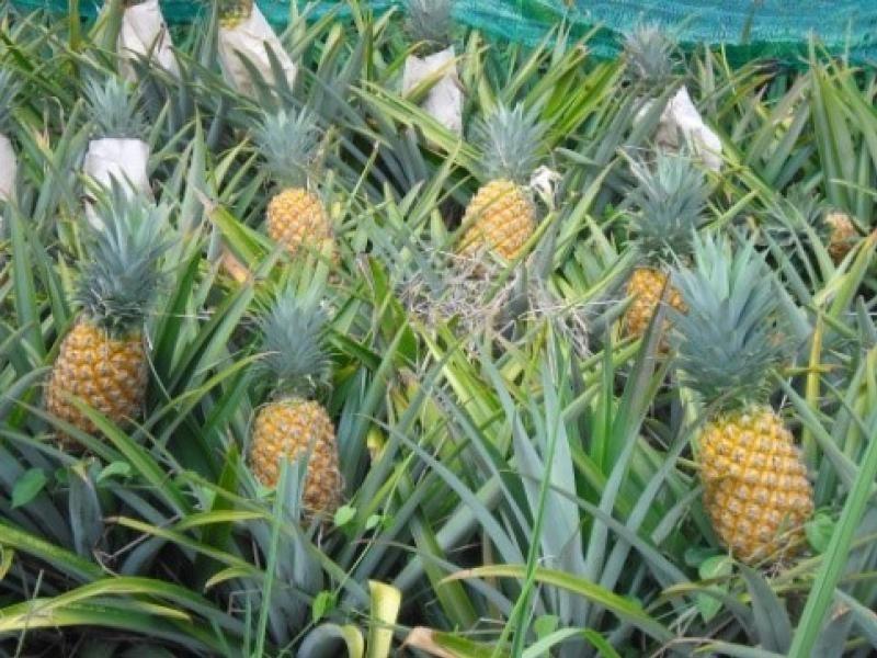 สับปะรดผลไม้ไทย
