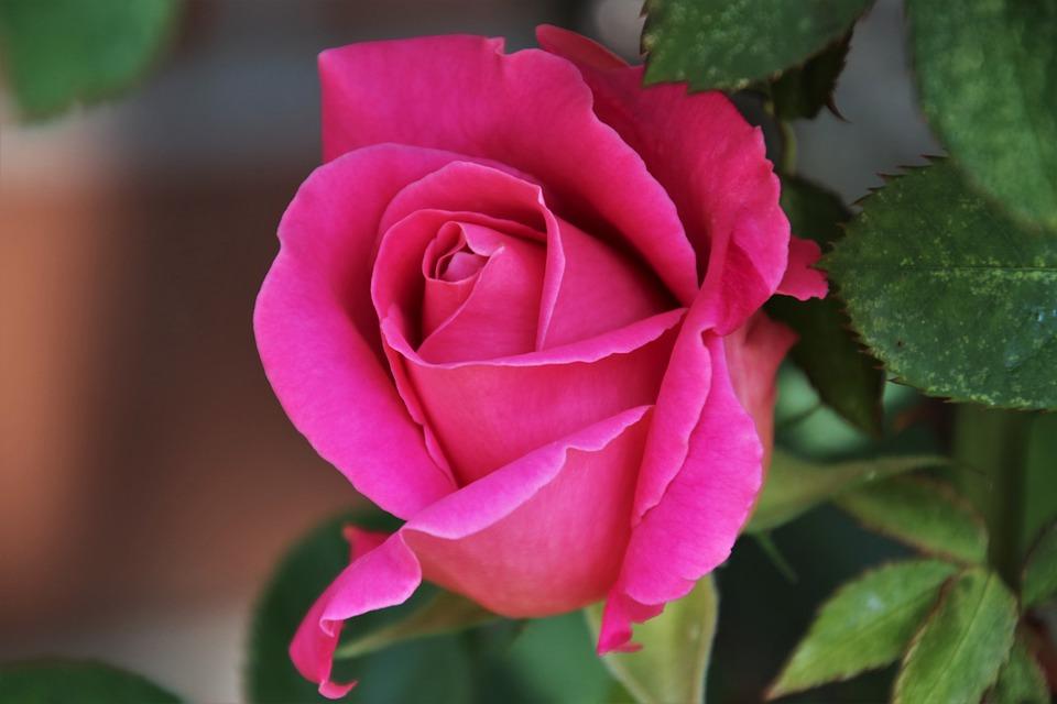 กุหลาบดีต่อสุขภาพใจ- สีชมพู