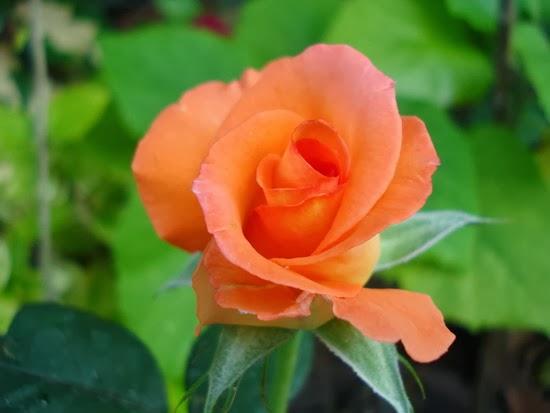 กุหลาบดีต่อสุขภาพใจ -สีส้ม