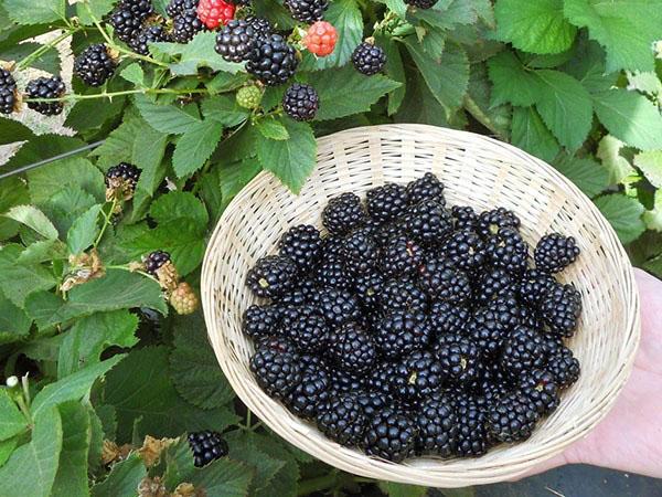 ประยชน์แบล็คเบอร์รี่ ผลไม้ที่มีรสชาติเปรี้ยว